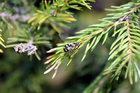 bee on the evergreen tree Stock Photo