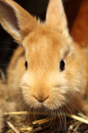 light brown cub of the domestic rabbit Stock Photo