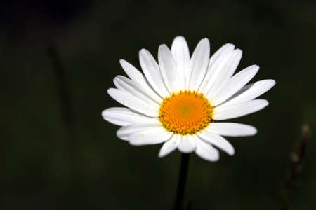 Marguerite flor photo