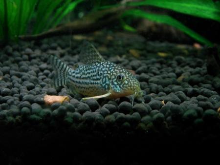 Sterby Corydora in a Planted Aquarium Stock Photo