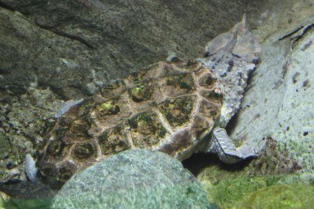 aquaria: Mata Mata Turtle