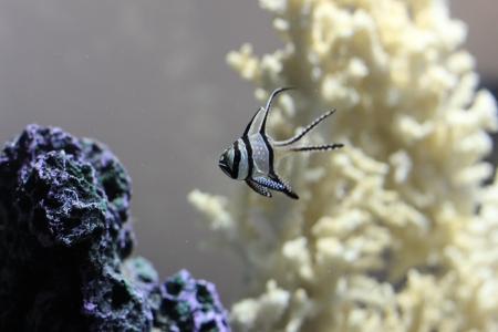 Bangaii Cardinal Fish Stock Photo