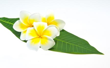 plumeria on a white background: Frangipani on white background . an originate flower in asia.
