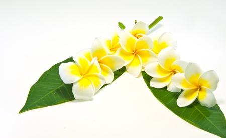 Frangipani on white background . an originate flower in asia. Stock Photo - 9653240