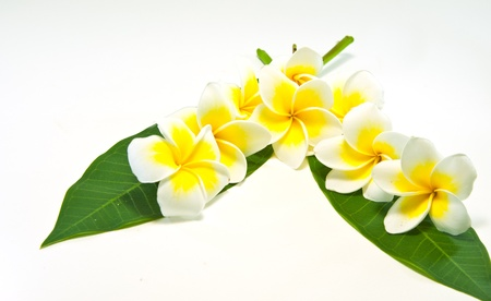 Frangipaniers sur fond blanc. une fleur originate en Asie.