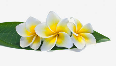 Frangipani on white background . an originate in asia. Reklamní fotografie