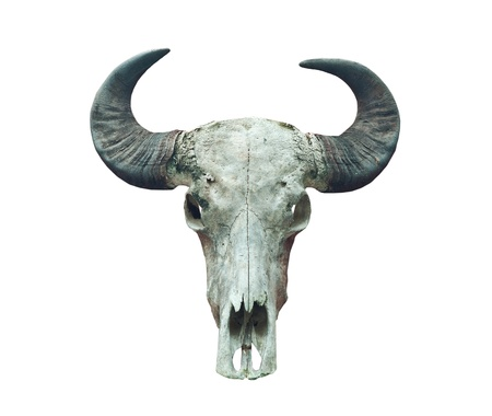 buffalo skull on the whitr background.