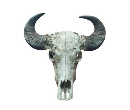 buffalo skull on the whitr background.