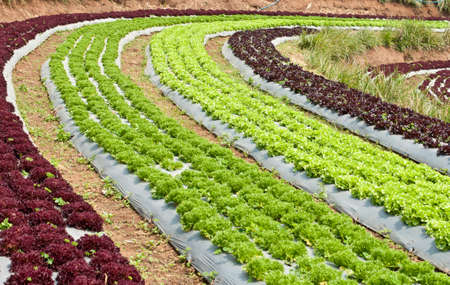 bolter: Growing lettuce in rows in the vegetable garden