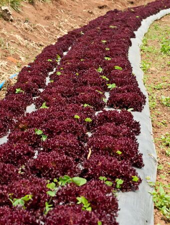 Growing lettuce in rows in the vegetable garden photo