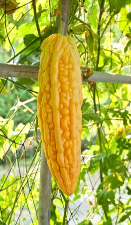 bitter melon in a farm. Stock Photo - 12933297