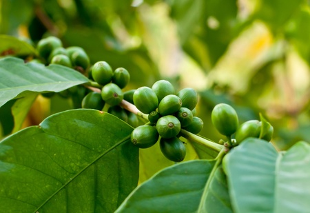 green bean: Unripe coffee beans on coffee tree.