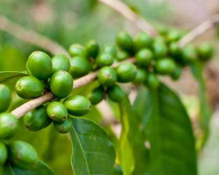 bush bean: Unripe coffee beans on coffee tree.