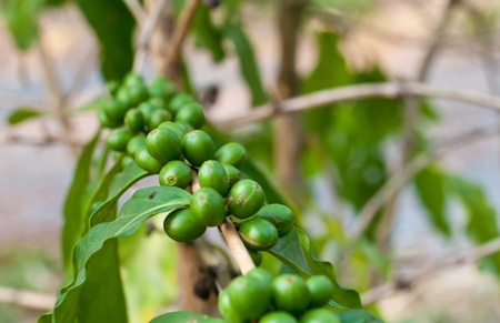 Unripe coffee beans on coffee tree. photo