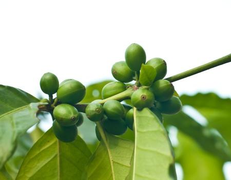 Grains de caf� verts sur l'arbre � caf�. Banque d'images