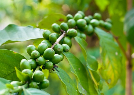 Unripe coffee beans on coffee tree. Stock Photo - 13278562