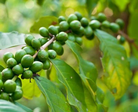 Unripe coffee beans on coffee tree. photo