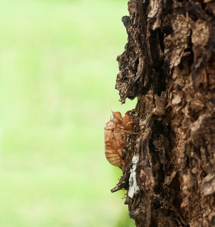 Cicada shell on the tree  photo