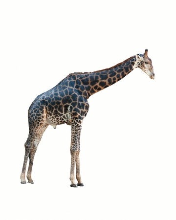 youngly: giraffe isolated on white background. Stock Photo