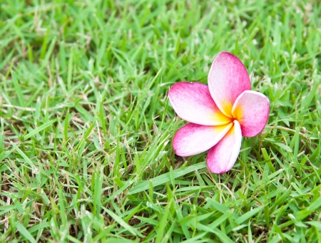 Frangipani tropical flowers on green grass. photo
