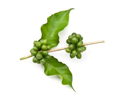 arbol de cafe: caf� en grano y hojas sobre fondo blanco