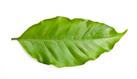 coffee leaf on white background