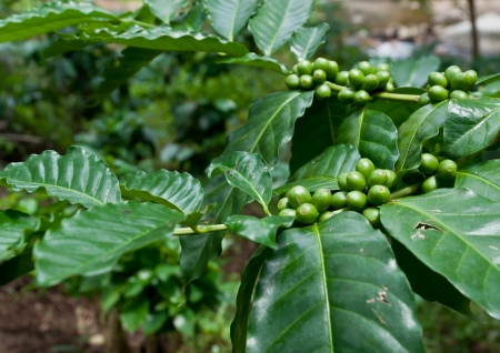 coffee beans on coffee tree. photo