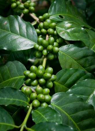 coffee tree: coffee beans on coffee tree.