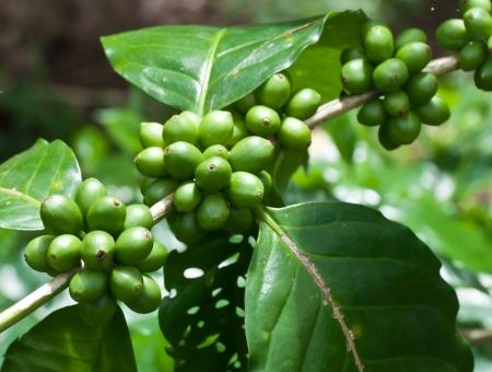 coffee beans on coffee tree. photo