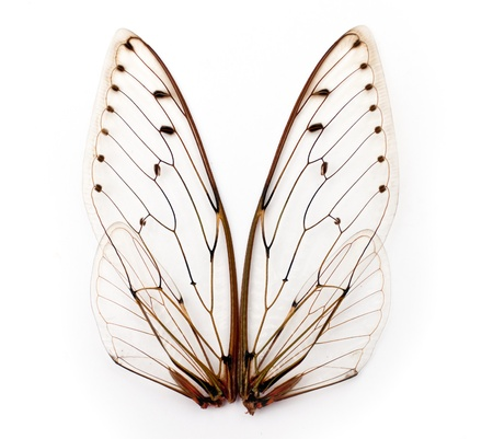 cicada bug: A pair of cicada insect  wings