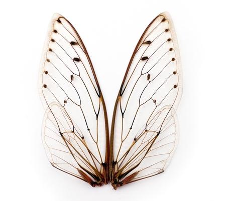 cigarra: Un par de alas de insectos cigarra Foto de archivo