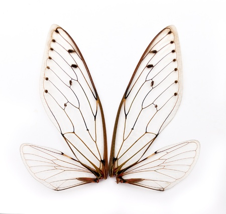 A pair of cicada insect  wings photo