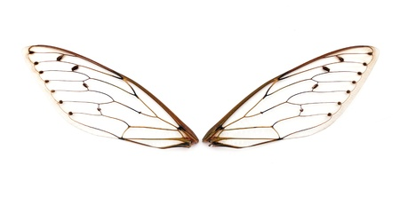 A pair of cicada insect  wings