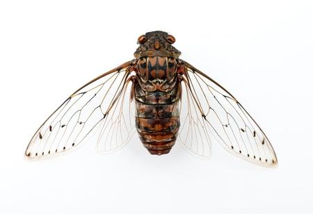 insecte cigale isol� sur fond blanc