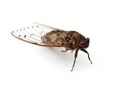 cicada insect  isolated on white background  photo