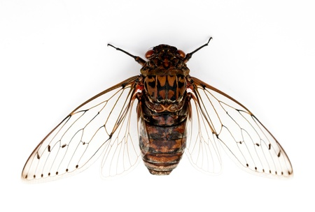 cigarra: insectos cigarra aislado sobre fondo blanco