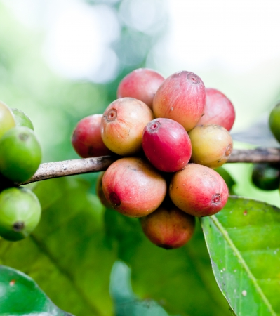 Ripe coffee beans on plant  photo