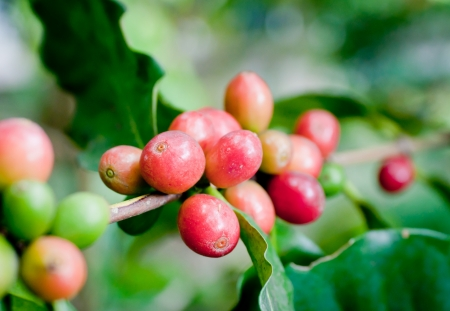 Ripe coffee beans on plant
