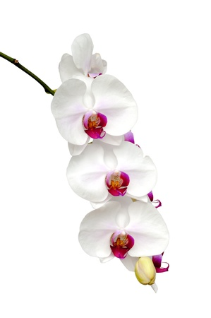 Beautiful white orchid blooming on the white background  Banque d'images