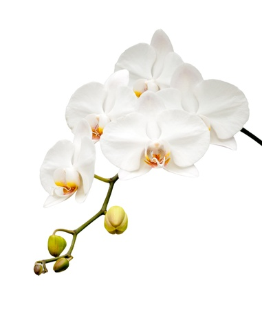 orchid branch: Beautiful white orchid blooming on the white background  Stock Photo