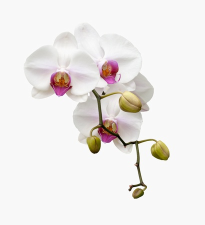 Beautiful white orchid blooming on the white background  photo
