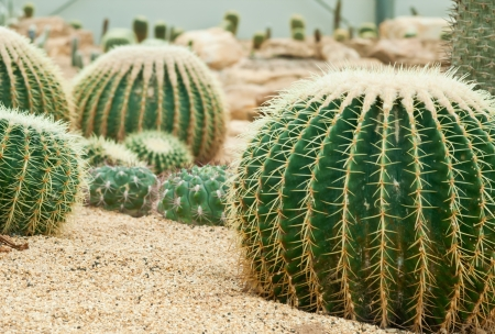 Close up of cactus in the green house Stock Photo - 14736818