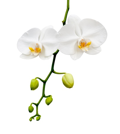 Beautiful white orchid blooming on the white background.