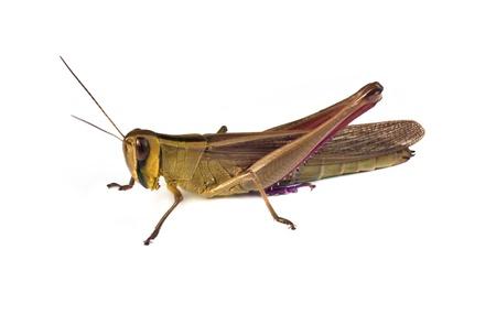 grasshoppers: Grasshopper on a  white background Stock Photo