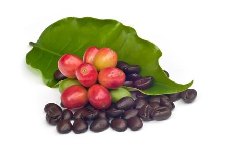 planta de cafe: granos de café y el café maduro rojo aislado sobre fondo blanco