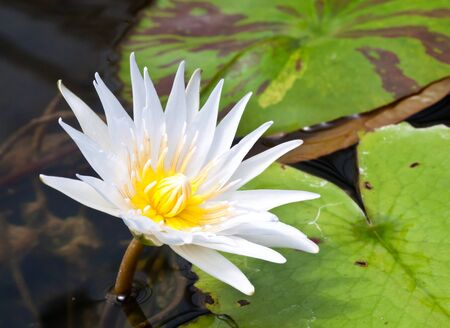 beautiful  white lotus flower  in the pond  photo