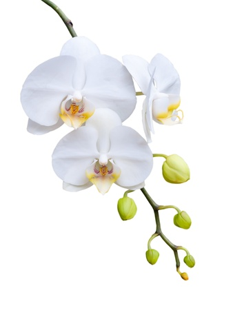 Beautiful white orchid blooming on the white background. Stock Photo - 15411278
