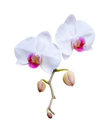 Beautiful white orchid blooming on the white background. photo