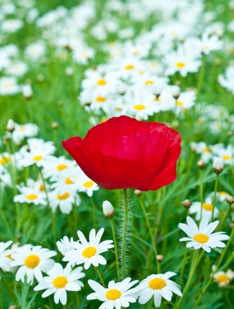 red poppy on flower garden. photo