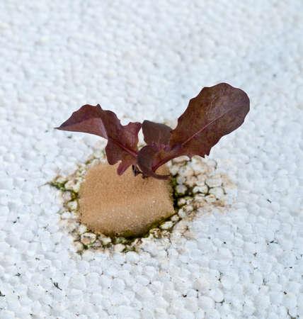 Fresh red  lettuce on Foam board  in Hydroponics.farm . photo